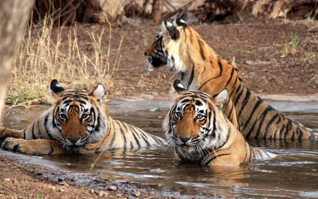 Bengal Tigers Jim Corbett