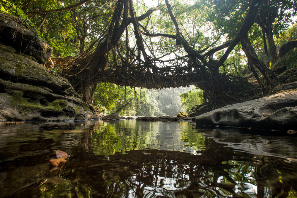 Living Root Bridge Meghalaya