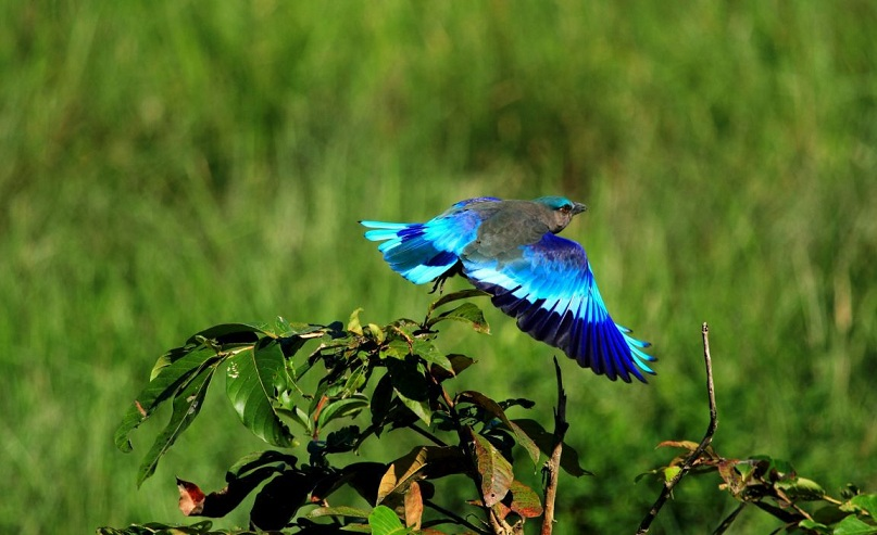 Blue Bird Bharatpur Sanctuary