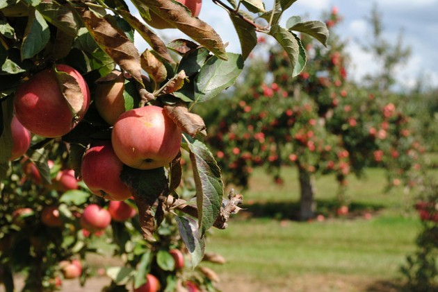 Apple Orchards in Khajjiar