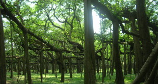 Great Banyan, Howrah