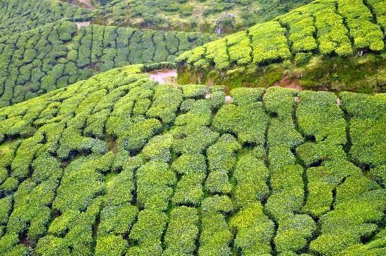 Kolukkumalai Tea Estate, Tamil Nadu