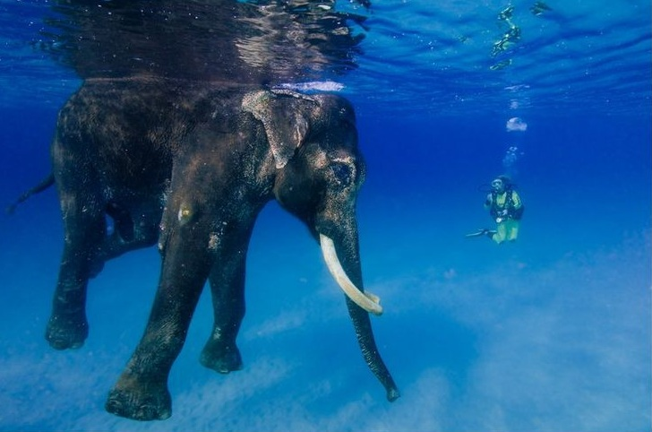 Rajan -Swimming Elephant at Andaman