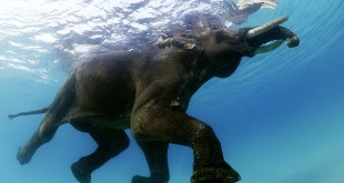 Rajan - The Swimming Elephant