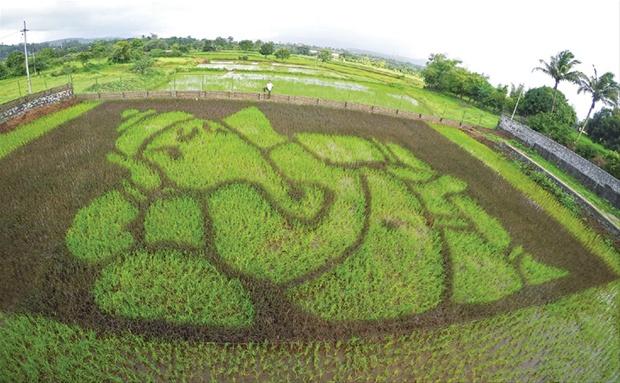 Shrikant Ingalhalikar's Paddy Art in Pune