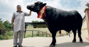 Yuvraj – India's Super Bull worth Rs.9 Crore