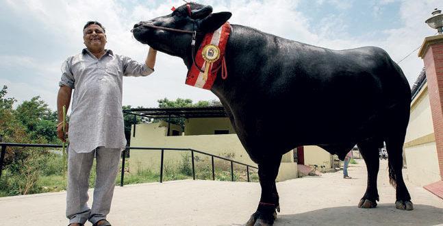 Yuvraj – India's Super Bull worth Rs.9 Crore