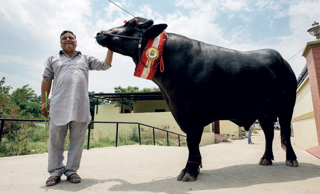 Yuvraj – India's Super Bull worth Rs.9 Crore!