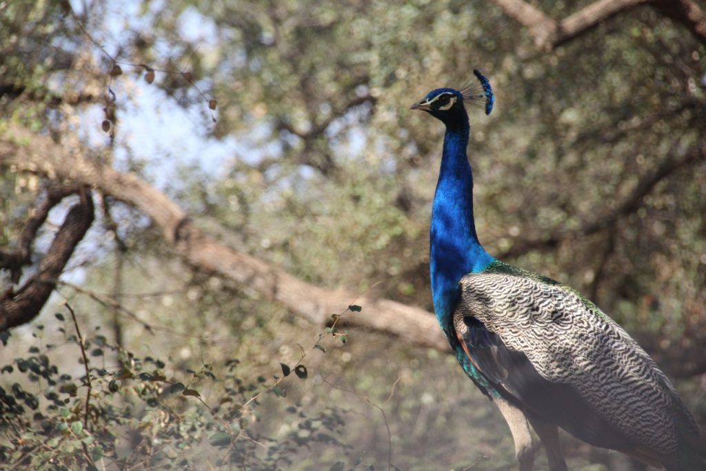 Peacocks in Sariska National Park