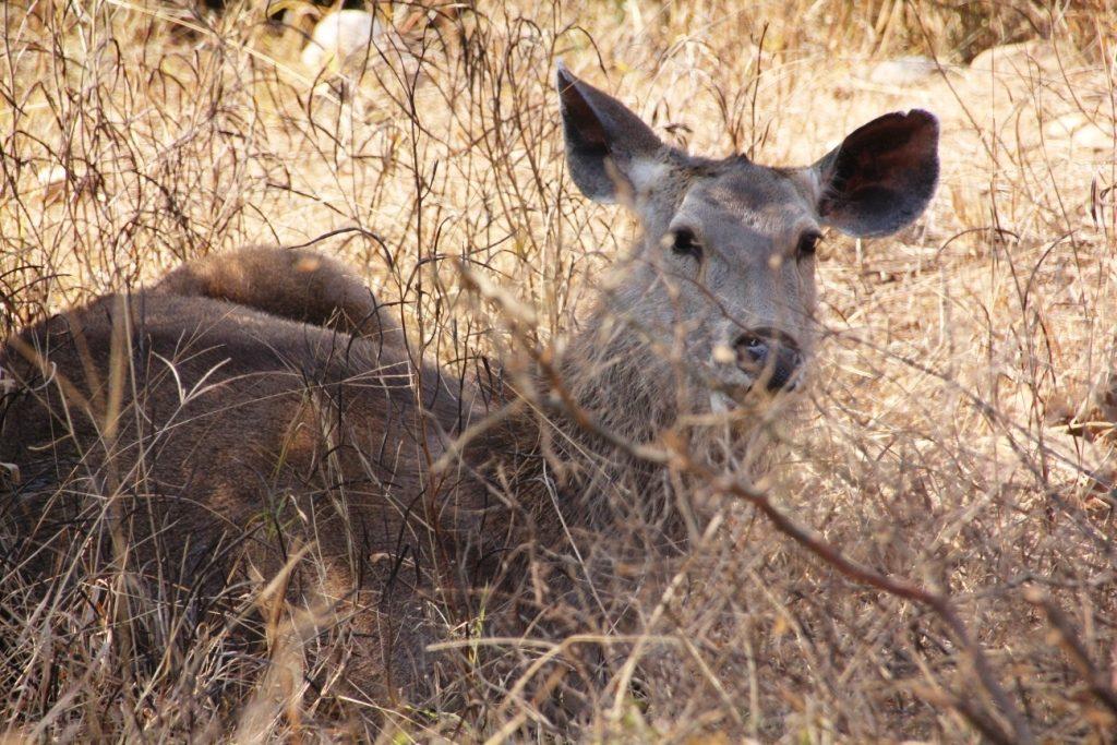 Sariska Animal