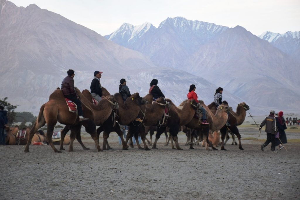 Nubra Valley Camel Ride
