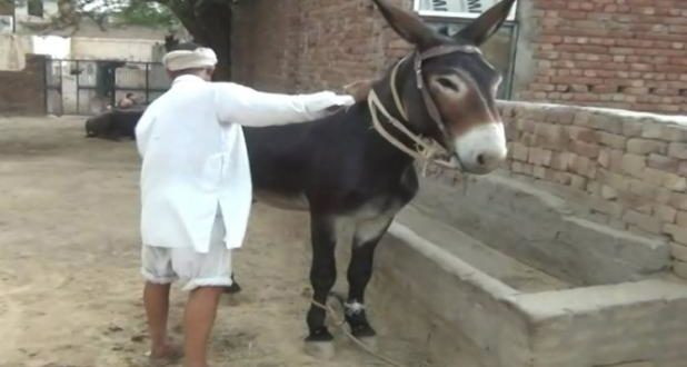 Tippu - Haryana's Super Donkey Worth Rs. 10 Lacs