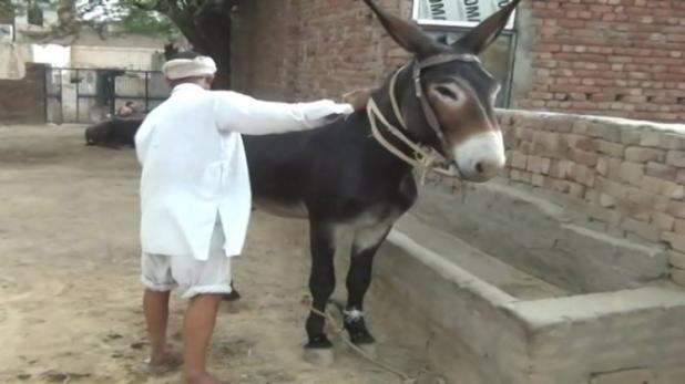 Tippu - Haryana's Super Donkey Worth Rs. 10 Lacs